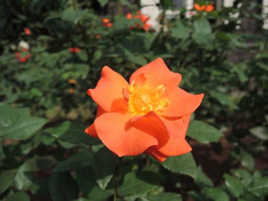 プリンセス・ミチコというバラを初めて見ました_e0232277_11125538.jpg