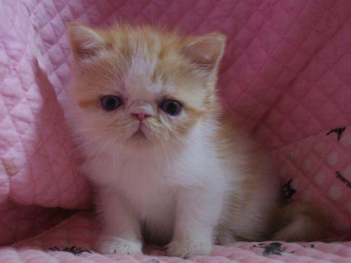 エキゾ赤ちゃん 9月12日生まれ にっちゃん子猫 レッドタビー&ホワイト女の子_e0033609_17500449.jpg