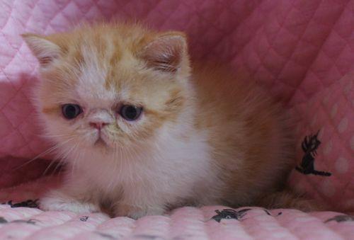 エキゾ赤ちゃん 9月12日生まれ にっちゃん子猫 レッドタビー&ホワイト女の子_e0033609_17501582.jpg