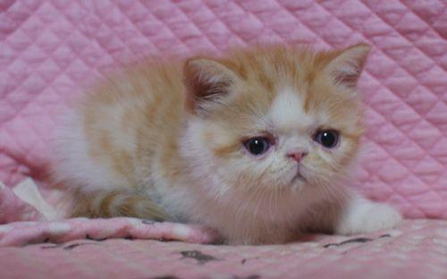 エキゾ赤ちゃん 9月12日生まれ にっちゃん子猫 レッドタビー&ホワイト女の子_e0033609_17505083.jpg