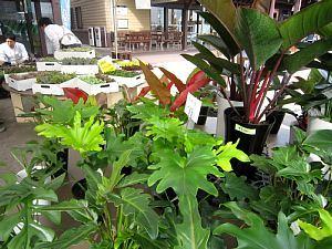「観葉植物」ふれあいマルシェ_c0141652_13080739.jpg
