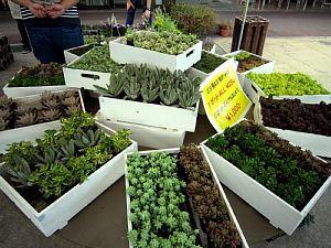 「観葉植物」ふれあいマルシェ_c0141652_13080745.jpg