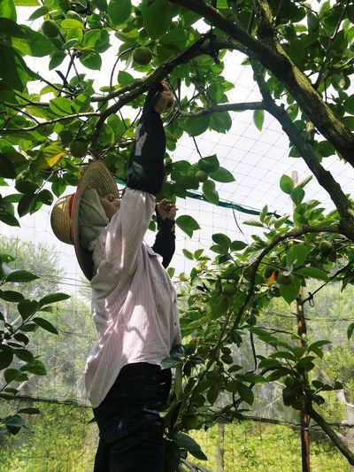 太秋柿 秋の果実の王様『太秋柿』が最旬を迎え大好評販売中!柿は体内のアルコール分解にも良いんです!_a0254656_17204110.jpg