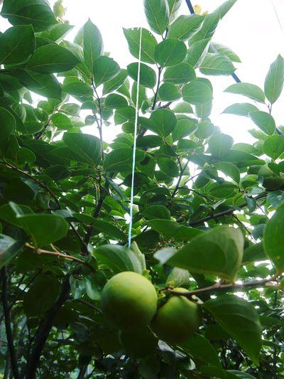 太秋柿 秋の果実の王様『太秋柿』が最旬を迎え大好評販売中!柿は体内のアルコール分解にも良いんです!_a0254656_17231858.jpg