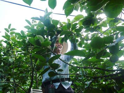 太秋柿 秋の果実の王様『太秋柿』が最旬を迎え大好評販売中!柿は体内のアルコール分解にも良いんです!_a0254656_17275422.jpg