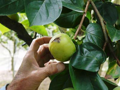 太秋柿 秋の果実の王様『太秋柿』が最旬を迎え大好評販売中!柿は体内のアルコール分解にも良いんです!_a0254656_17374781.jpg