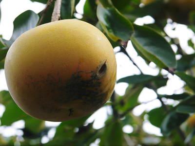 太秋柿 秋の果実の王様『太秋柿』が最旬を迎え大好評販売中!柿は体内のアルコール分解にも良いんです!_a0254656_17431883.jpg