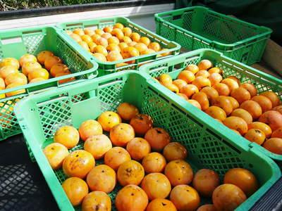 太秋柿 秋の果実の王様『太秋柿』が最旬を迎え大好評販売中!柿は体内のアルコール分解にも良いんです!_a0254656_1751418.jpg
