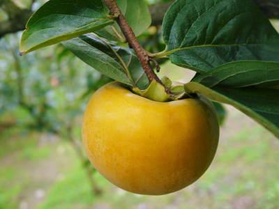 太秋柿 秋の果実の王様『太秋柿』が最旬を迎え大好評販売中!柿は体内のアルコール分解にも良いんです!_a0254656_184295.jpg