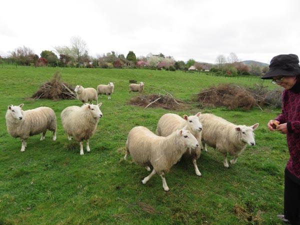 走る羊達、10月2日の様子_e0133780_09274876.jpg