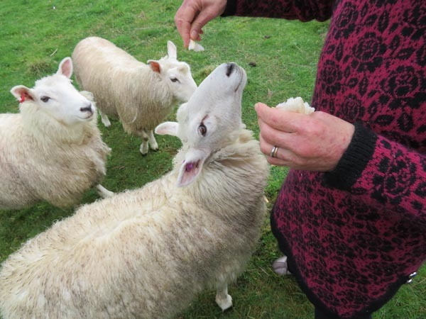 走る羊達、10月2日の様子_e0133780_09293926.jpg