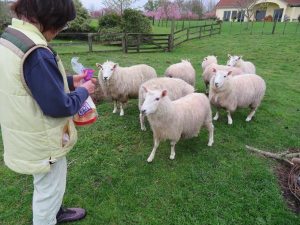 走る羊達、10月2日の様子_e0133780_09402150.jpg