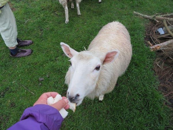 走る羊達、10月2日の様子_e0133780_09415851.jpg