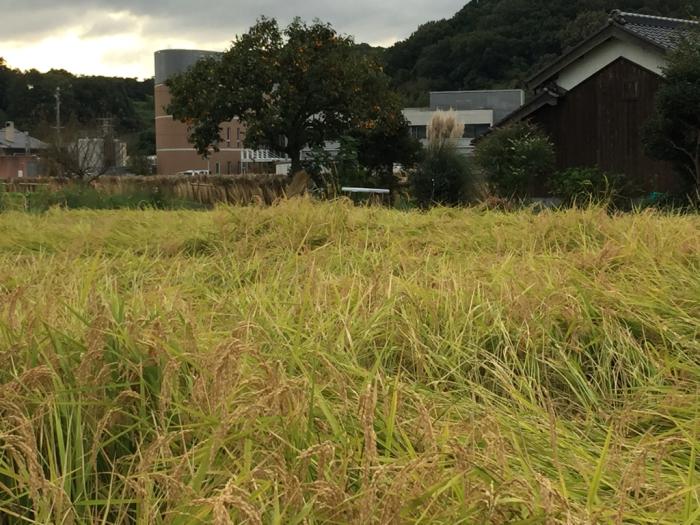 稲刈り❗️_a0156636_20081865.jpg
