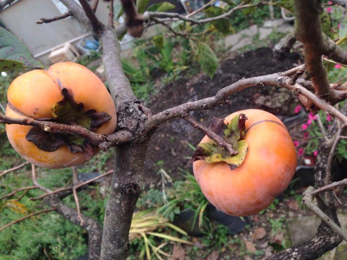 柿、温州蜜柑、クコ、秋明菊、トンボ_b0087077_12142987.jpg