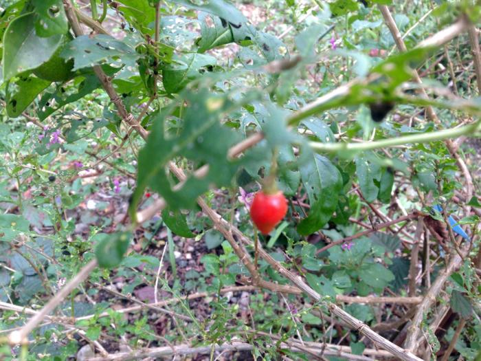 柿、温州蜜柑、クコ、秋明菊、トンボ_b0087077_12143107.jpg