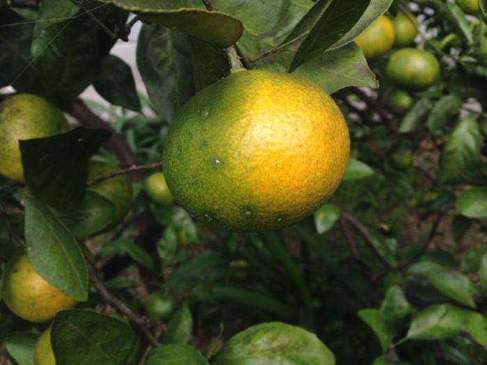 柿、温州蜜柑、クコ、秋明菊、トンボ_b0087077_12143121.jpg