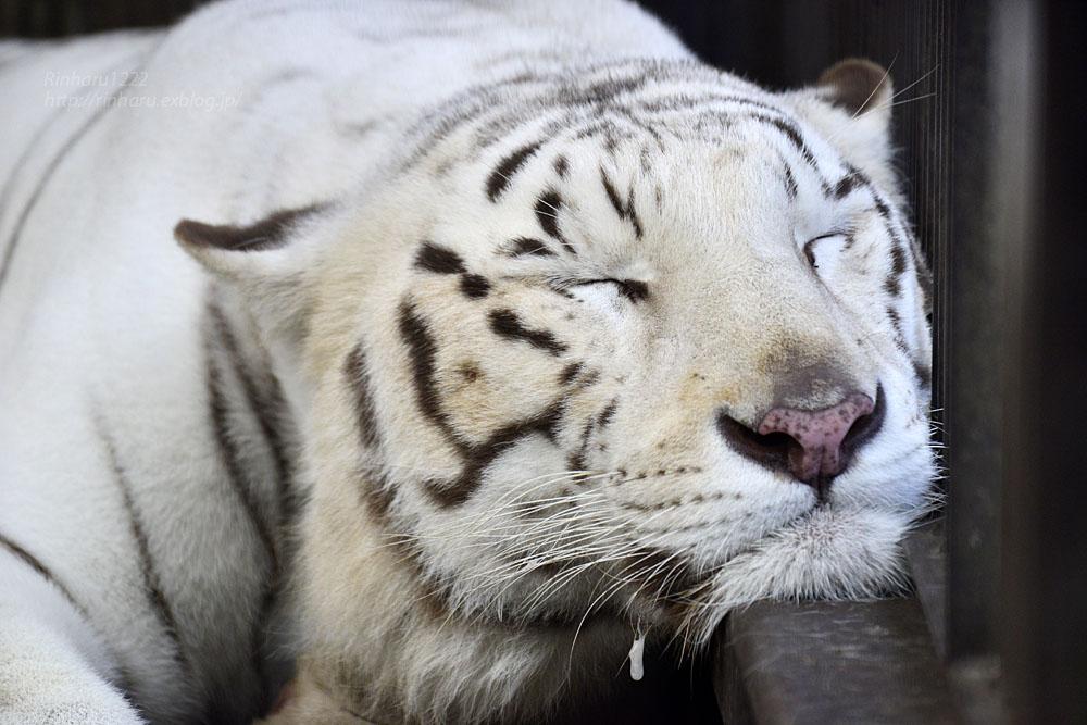 2016.10.23 宇都宮動物園☆ホワイトタイガーのアース王子【White tiger】_f0250322_22481379.jpg
