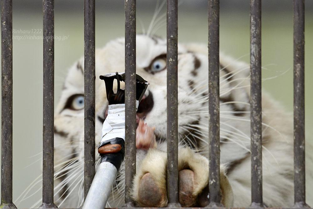 2016.10.23 宇都宮動物園☆ホワイトタイガーのアース王子【White tiger】_f0250322_22482229.jpg