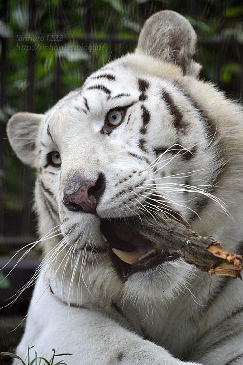 2016.10.23 宇都宮動物園☆ホワイトタイガーのアース王子【White tiger】_f0250322_2248419.jpg