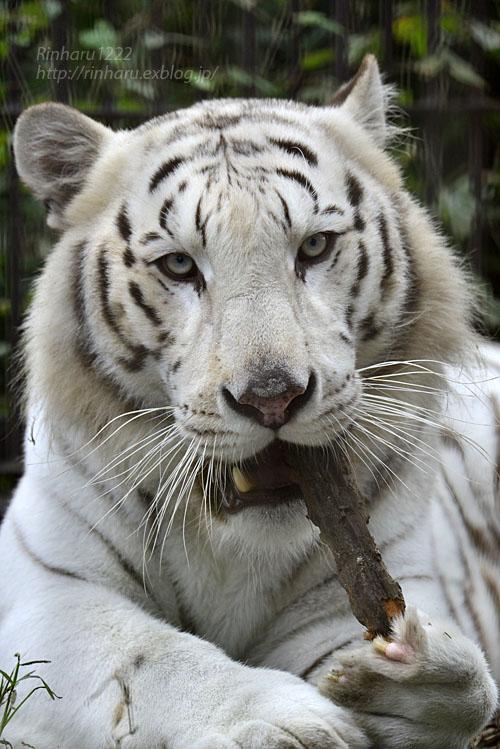 2016.10.23 宇都宮動物園☆ホワイトタイガーのアース王子【White tiger】_f0250322_22484920.jpg
