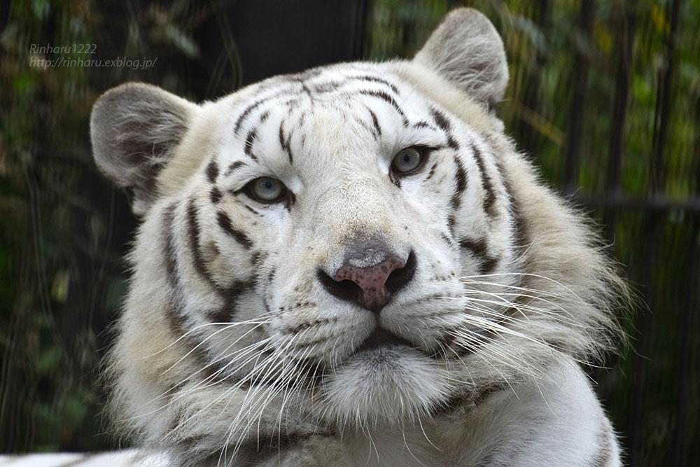 2016.10.23 宇都宮動物園☆ホワイトタイガーのアース王子【White tiger】_f0250322_22485385.jpg