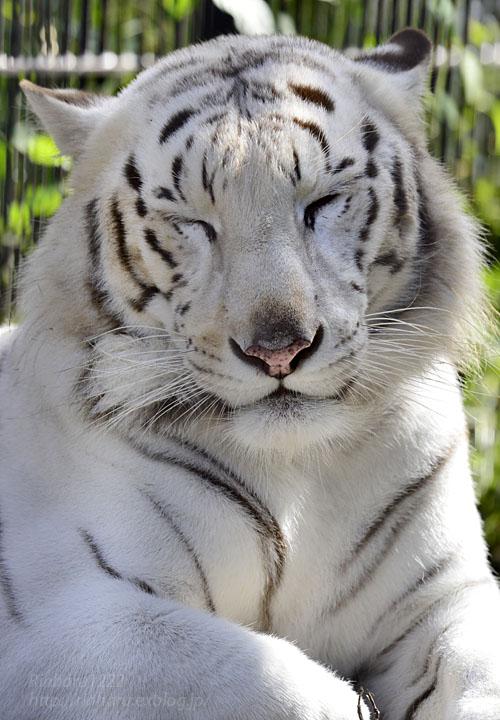 2016.10.23 宇都宮動物園☆ホワイトタイガーのアース王子【White tiger】_f0250322_22494124.jpg