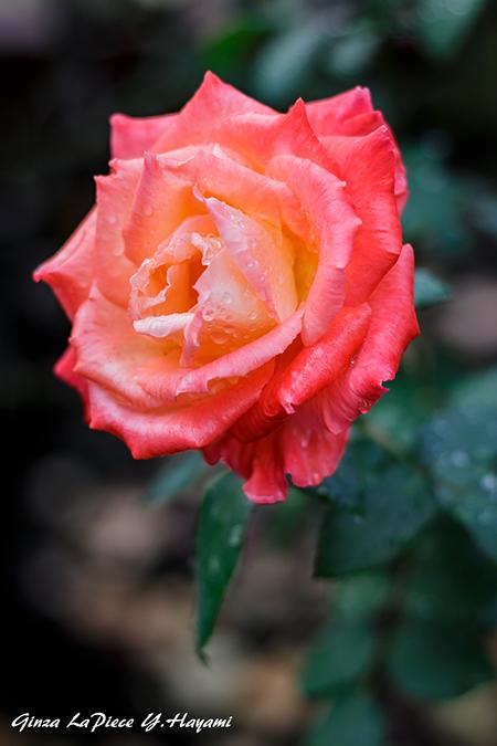 花のある風景 雨上がりの薔薇_b0133053_00214045.jpg