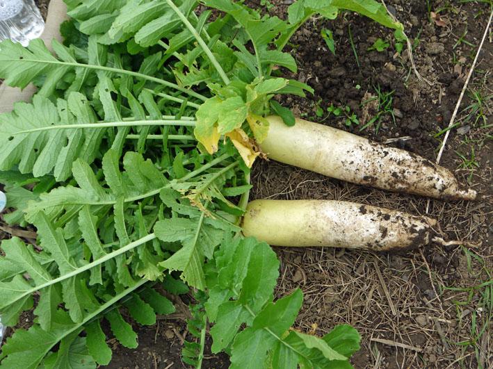大根、ネギ、コカブ収穫、でも大根にアブラムシが10・22_c0014967_14563289.jpg