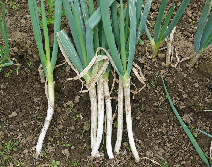 大根、ネギ、コカブ収穫、でも大根にアブラムシが10・22_c0014967_14565614.jpg