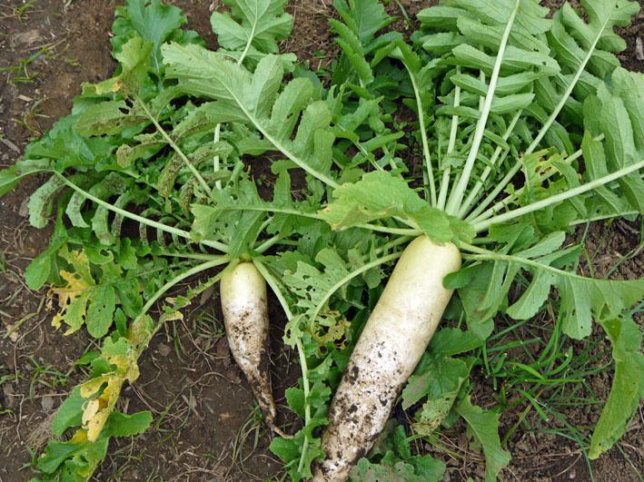 大根、ネギ、コカブ収穫、でも大根にアブラムシが10・22_c0014967_14585967.jpg