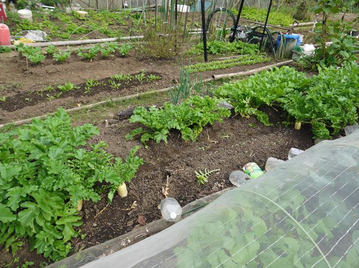 大根、ネギ、コカブ収穫、でも大根にアブラムシが10・22_c0014967_1515349.jpg