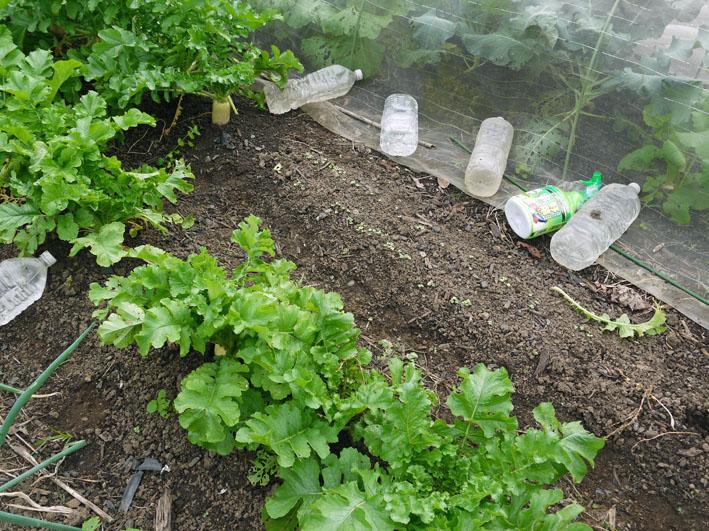 大根、ネギ、コカブ収穫、でも大根にアブラムシが10・22_c0014967_152653.jpg