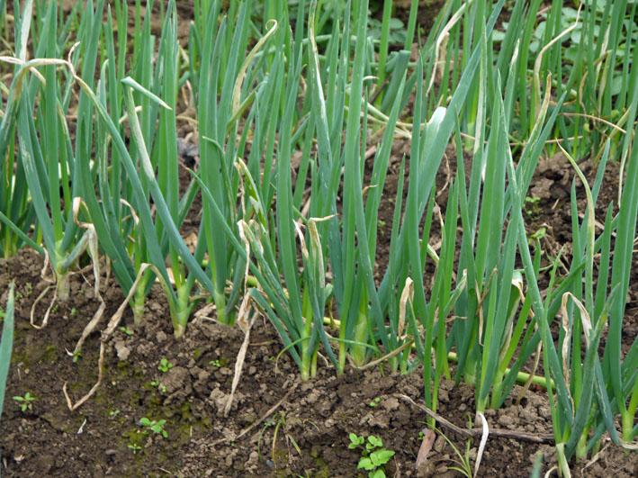 大根、ネギ、コカブ収穫、でも大根にアブラムシが10・22_c0014967_1533933.jpg