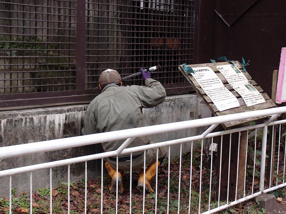 2016.10.25 宇都宮動物園☆トラのアズサさん来園!【Tiger】_f0250322_20384557.jpg