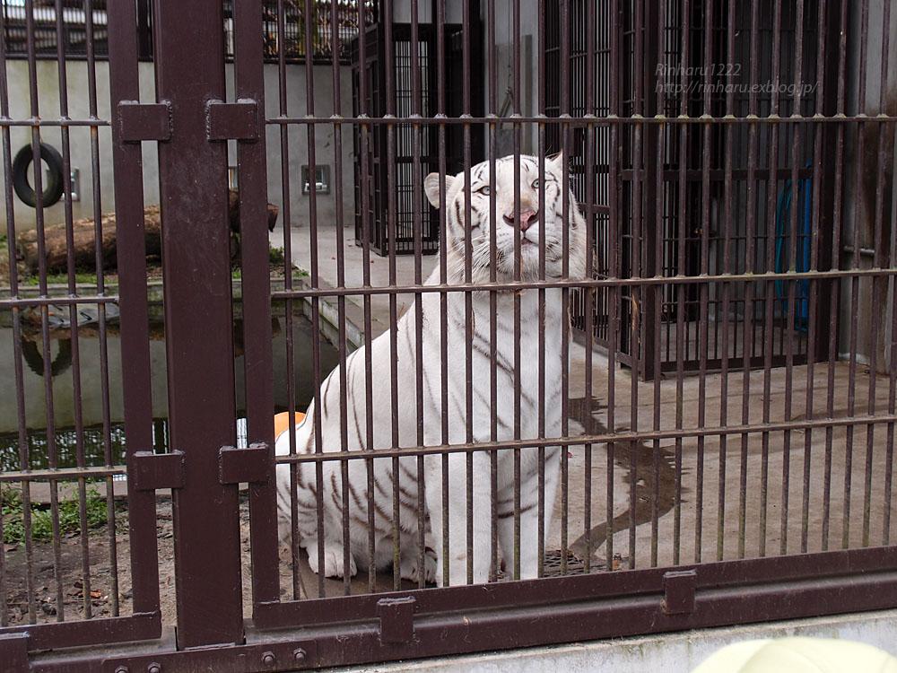 2016.10.25 宇都宮動物園☆トラのアズサさん来園!【Tiger】_f0250322_20391470.jpg