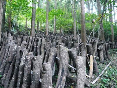 原木しいたけ 平成28年度も11月上旬からの出荷にむけて現在の栽培地の様子と2年間の栽培記録(前編)_a0254656_1736965.jpg