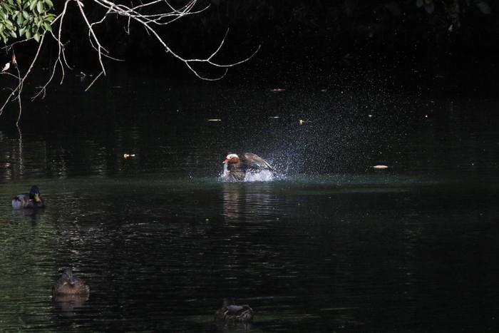 オシドリの水浴び_f0239515_16362810.jpg