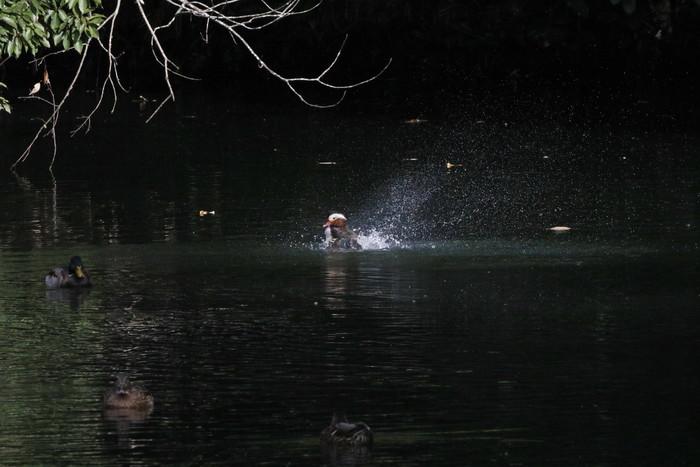 オシドリの水浴び_f0239515_16382872.jpg