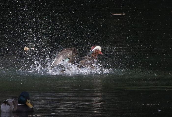 オシドリの水浴び_f0239515_17322383.jpg