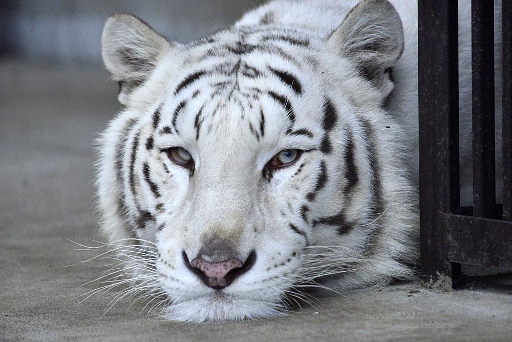 2016.10.25 宇都宮動物園☆ホワイトタイガーのアース王子【Tiger】_f0250322_22345671.jpg