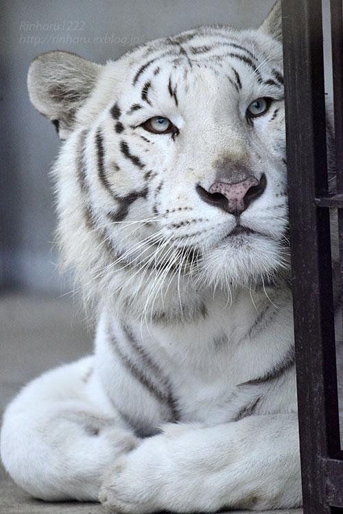 2016.10.25 宇都宮動物園☆ホワイトタイガーのアース王子【Tiger】_f0250322_2235124.jpg