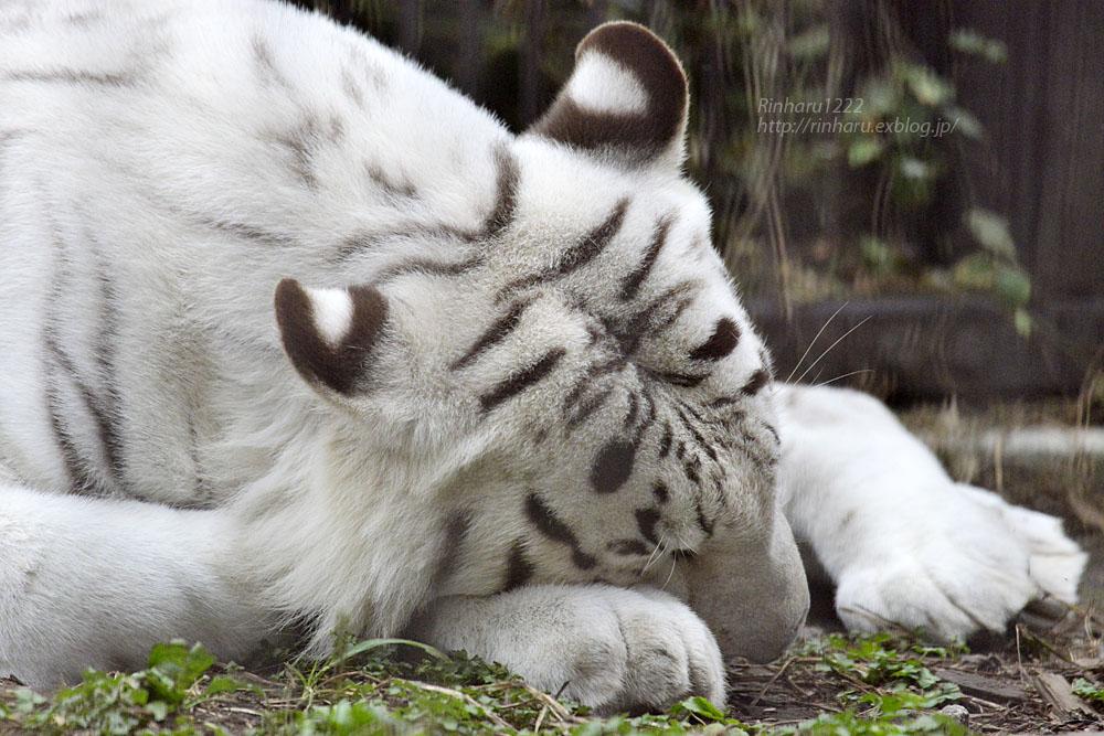 2016.10.25 宇都宮動物園☆ホワイトタイガーのアース王子【Tiger】_f0250322_22352876.jpg