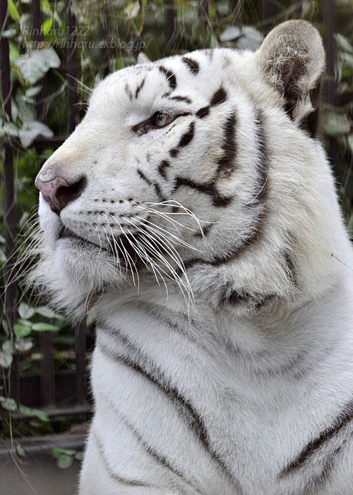 2016.10.25 宇都宮動物園☆ホワイトタイガーのアース王子【Tiger】_f0250322_22354197.jpg