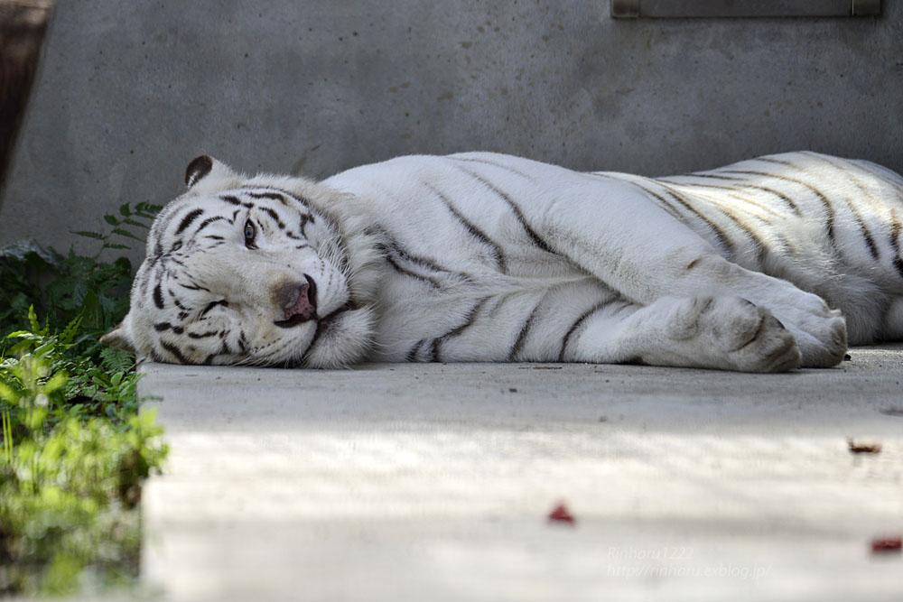 2016.10.25 宇都宮動物園☆ホワイトタイガーのアース王子【Tiger】_f0250322_22355598.jpg
