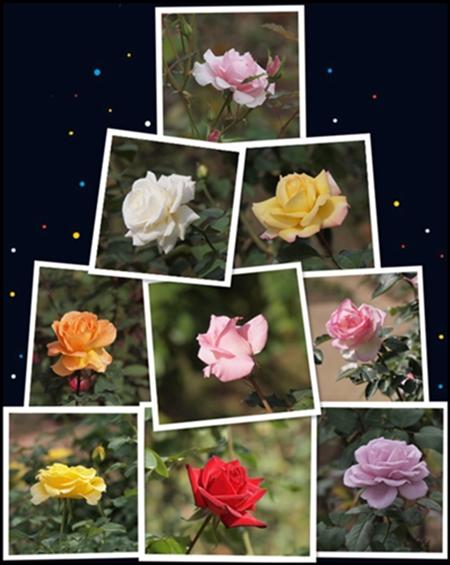 薔薇と人間_c0026824_12382945.jpg