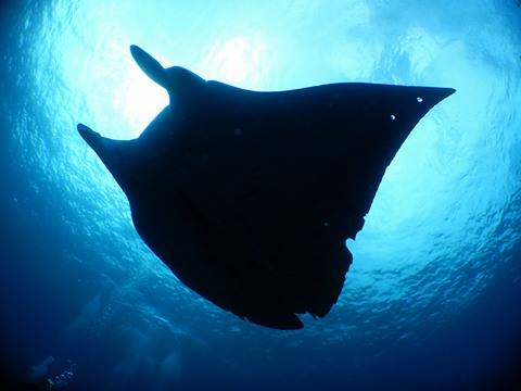 lots of mantas !! _a0189838_1761374.jpg