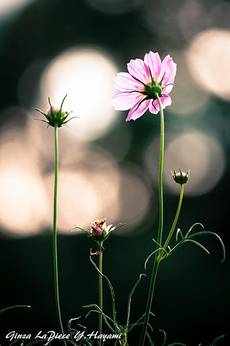 花のある風景 光に透けるコスモス_b0133053_00091304.jpg