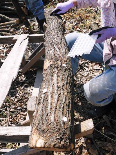 原木しいたけ 平成28年度も11月上旬からの出荷にむけて現在の栽培地の様子と2年間の栽培記録(後編)_a0254656_1815011.jpg