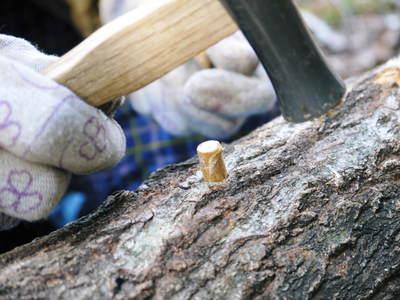 原木しいたけ 平成28年度も11月上旬からの出荷にむけて現在の栽培地の様子と2年間の栽培記録(後編)_a0254656_18293514.jpg